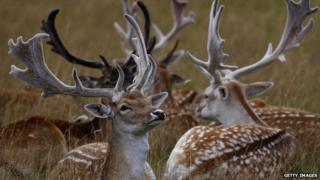 Fallow deer at Richmond Park
