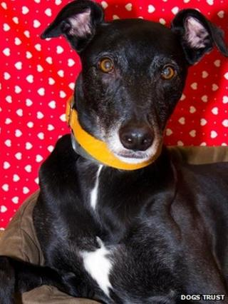 Jed, a black lurcher with white trim