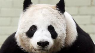 Tian Tian has been in Edinburgh for almost three years