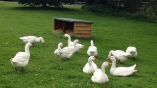 Beyton geese, Suffolk