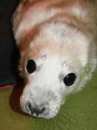 Grey seal pup found at Whitesands beach in Pembrokeshire