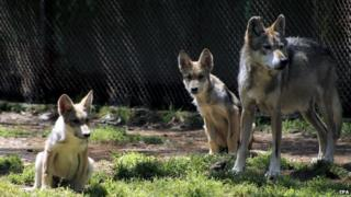Handout picture made available by the Mexican Secretary Office of Environment on 3 September 2014 showing two wolf cubs in Mexico City