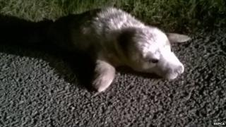 Jelly the seal pup in the road