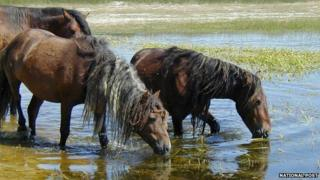 Wild horses drinking water on Sable Island