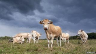 Cows stand in a field