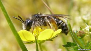 Tormentil mining bee. Pic: Paddy Saunders