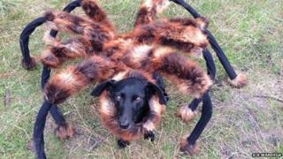 Chica the dog dressed as a giant spider