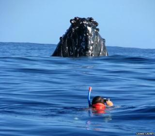 Humpback whale and Dare Win diver on the surface of the water