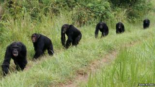 chimpanzees on patrol