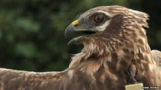 The missing Montagu's harrier