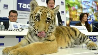 Amur tiger at TV presentation, 22 Sep 14
