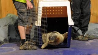 Seal released at Hunstanton Sea Life Sanctuary