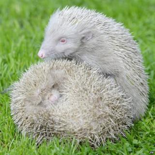Albino hedgehogs