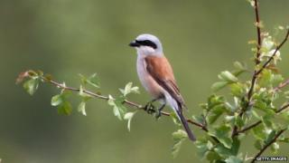 Rare red-backed shrike in London, file pic