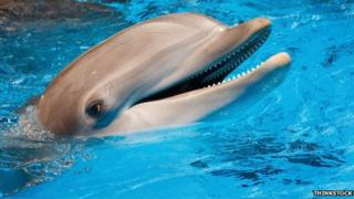 Dolphins are part of the family of toothed whales that includes orcas and pilot whales.