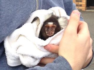 Joey the marmoset monkey
