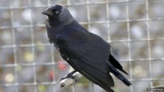 Bird caught in trap