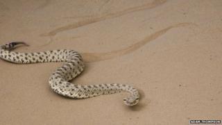 Robot snake learns secrets of sidewinders