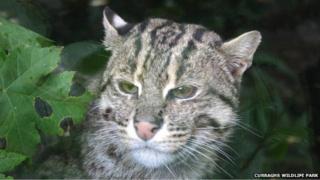 Fishing Cat courtesy Curraghs Wildlife Park