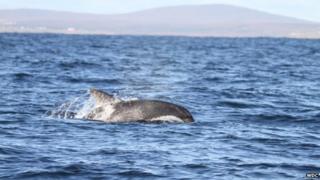 Hybrid dolphin