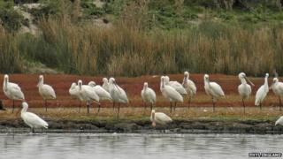 Spoonbill flock
