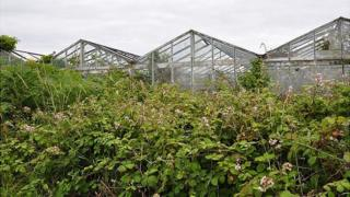 Former vinery greenhouses overgrown with plants