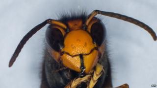 An Asian hornet - or vespa velutina - seen close up