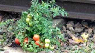 Tomatoes plant on rail track