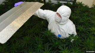 Forensic officer examines cannabis plants haul in Portadown