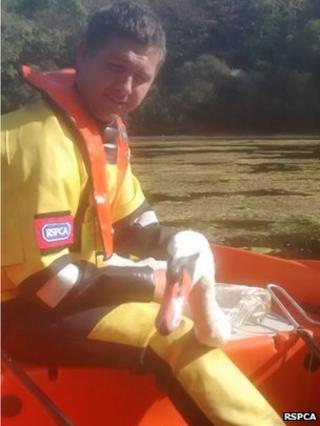 Injured swan found at Bosherston Lakes in Pembroke