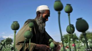 Afghan farmers collect raw opium in the Khogyani district of Nangarhar province, Afghanistan on 29 April 2013.