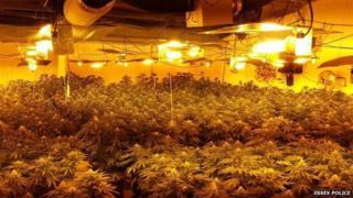 Cannabis plants in Waltham Abbey