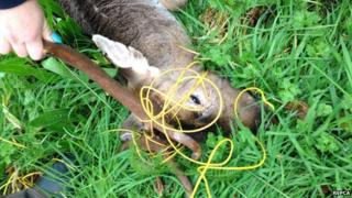 Stag caught in wire