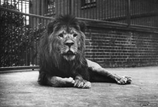 C. 1900: A captive lion in Regents Park Zoo, London