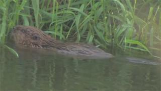 Beaver on River Otter