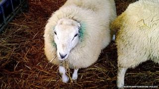 Sheep with no ears