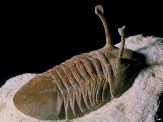 Trilobite fossil - The trilobites are an extinct group of marine arthropods with a hard, segmented shell