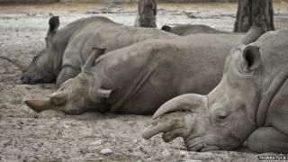 rhinoceroses napping