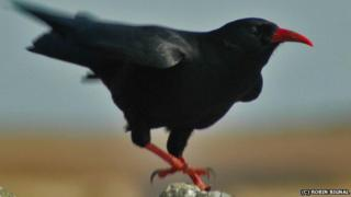 Chough with red bill and legs