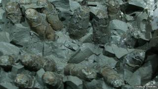 A clutch of the theropod Troodon's eggs seen from below in the museum of the Rockies, Montana