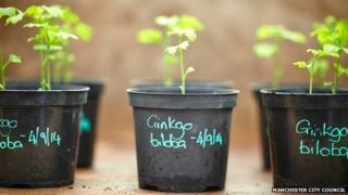 Ginkgo seedlings