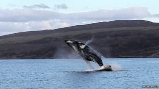 Humpback whale breaching off Skye