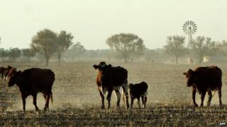 Cattle in New South Wales, file photo from 2002