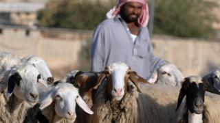 Saudi Shepherd with his sheep