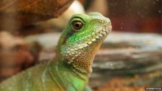 A pet green lizard