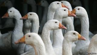 Ducks infected with bird flu
