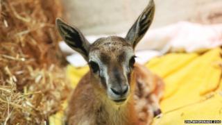 Larry the Gazelle
