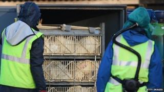Culling gets under way at duck farm in Yorkshire