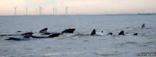 Pilot whales off the Essex coast at Brightlingsea