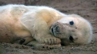 Seal pup at Blakeney